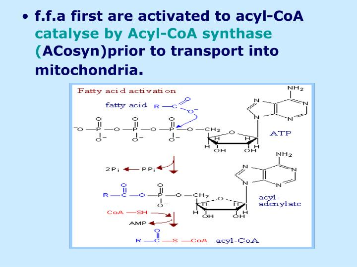 f.f.a first are activated to acyl-CoA