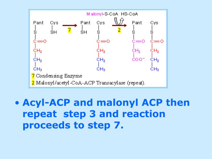 Acyl-ACP and malonyl ACP then repeat  step 3 and reaction proceeds to step 7.
