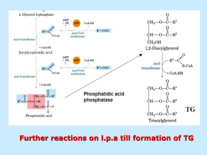 Further reactions on l.p.a till formation of TG