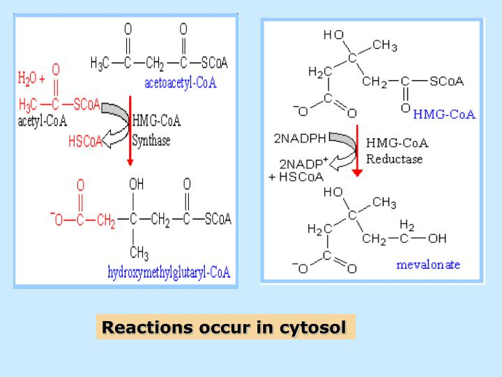 Reactions occur in cytosol