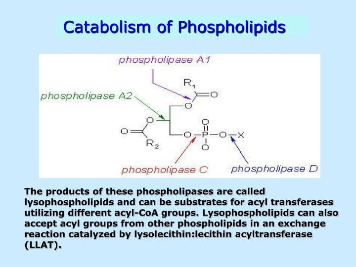 Catabolism of Phospholipids