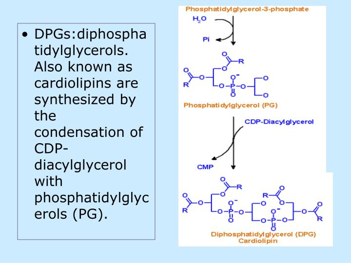 DPGs:diphosphatidylglycerols. Also known as cardiolipins are synthesized by the condensation of CDP-diacylglycerol with phosphatidylglycerols (PG).