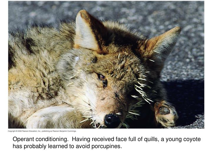 Operant conditioning.  Having received face full of quills, a young coyote has probably learned to avoid porcupines.