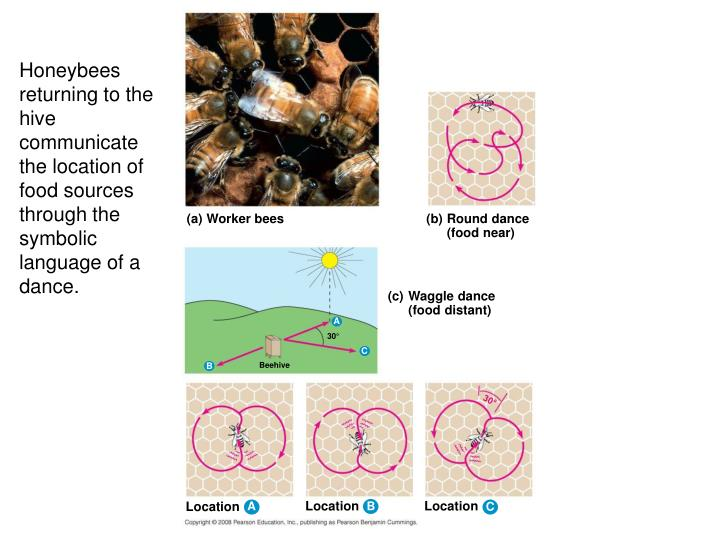 Honeybees returning to the hive communicate the location of food sources through the symbolic language of a dance.