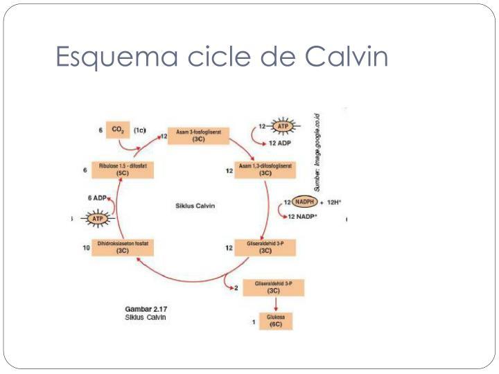 Esquema cicle de Calvin