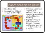 etapes del cicle de calvin