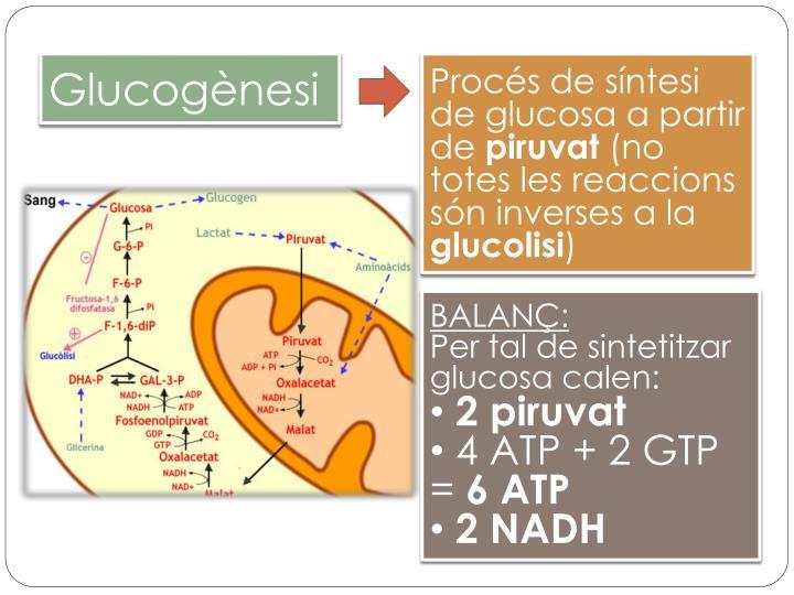Glucogènesi
