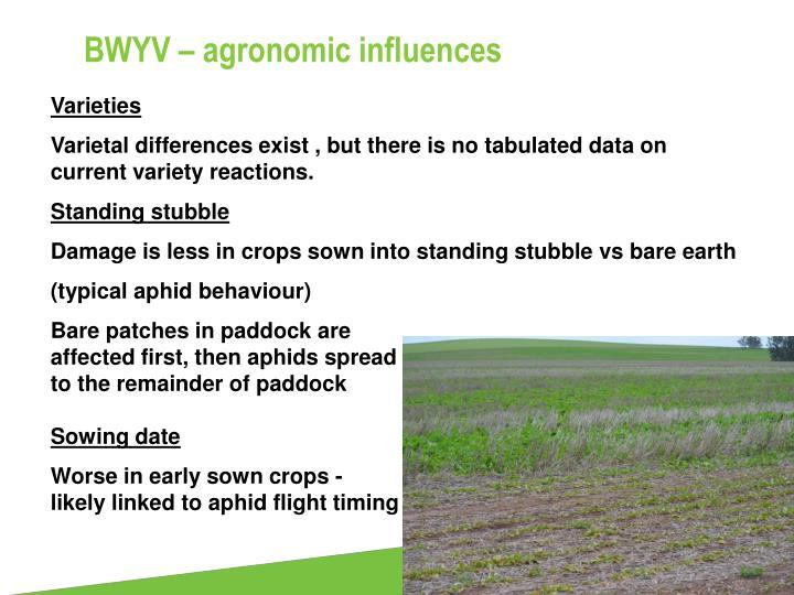 BWYV – agronomic influences