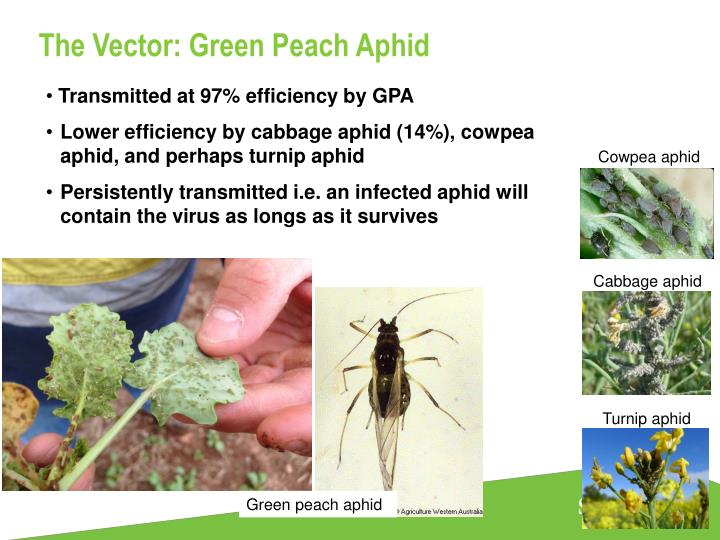 The Vector: Green Peach Aphid