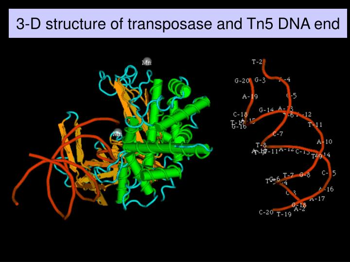 3-D structure of transposase and Tn5 DNA end