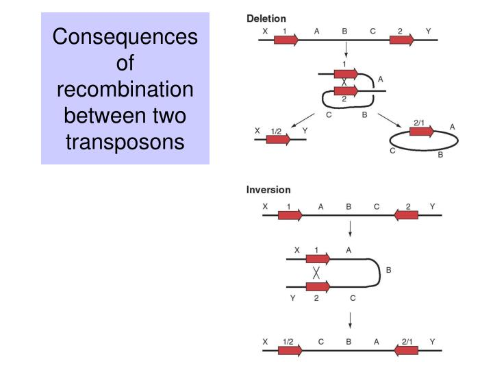 Consequences of recombination between two transposons