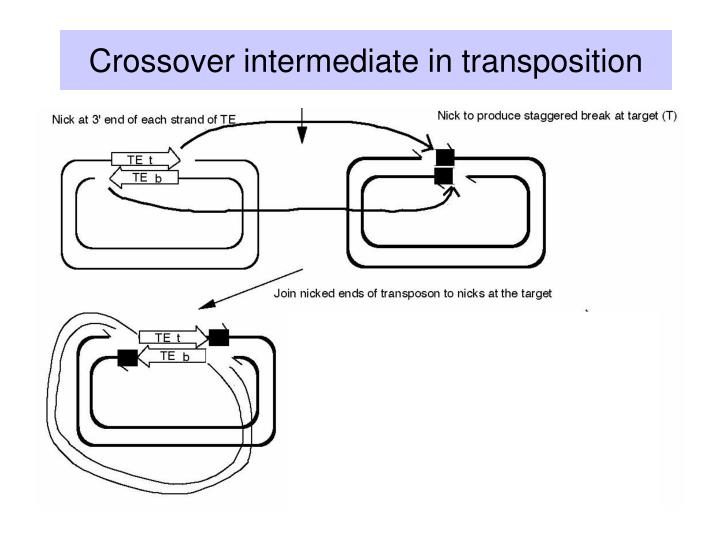 Crossover intermediate in transposition
