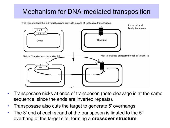 Mechanism for DNA-mediated transposition
