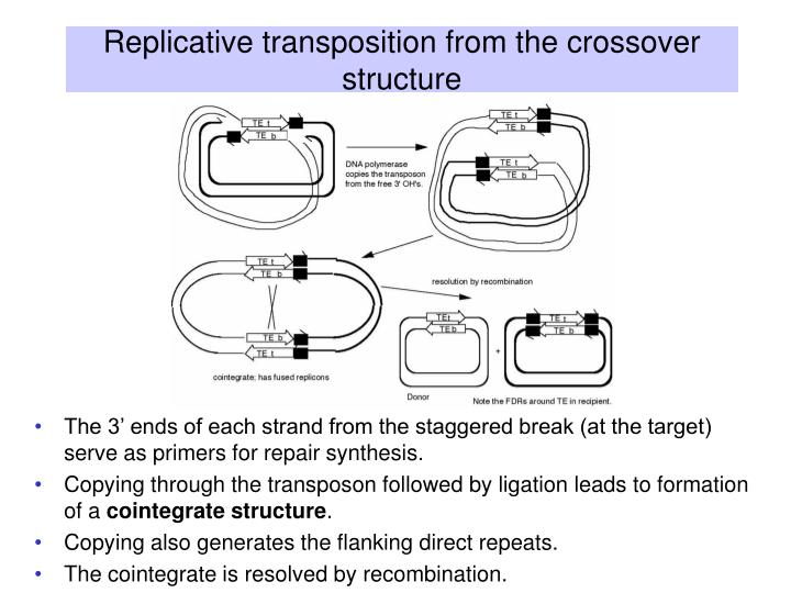Replicative transposition from the crossover structure