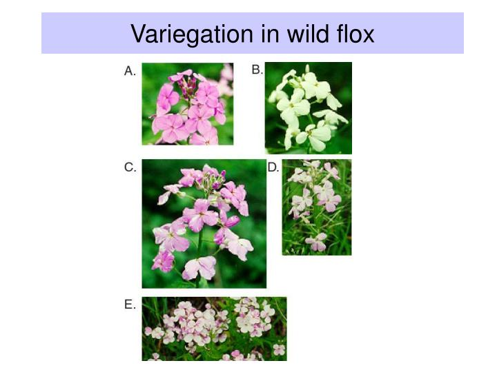 Variegation in wild flox
