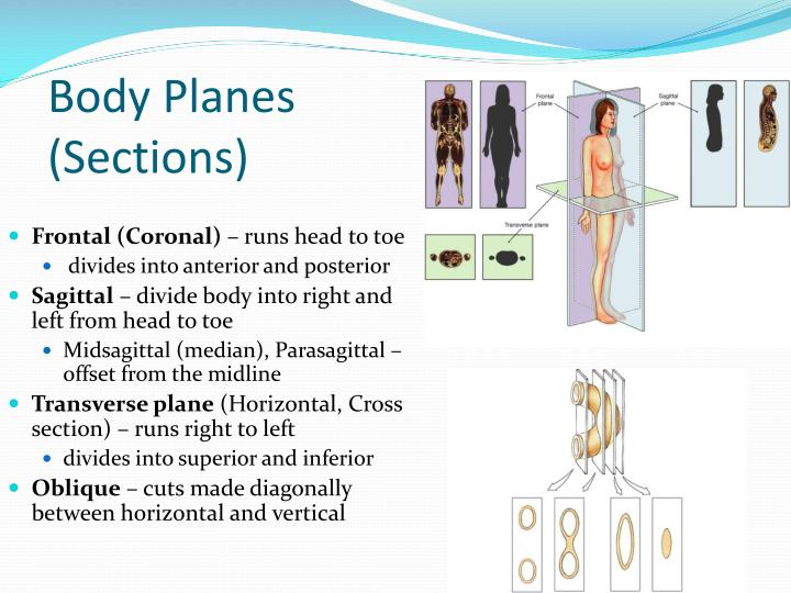Body Planes (Sections)