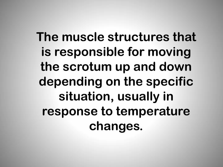 The muscle structures that is responsible for moving the scrotum up and down depending on the specific situation, usually in response to temperature changes.