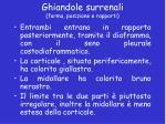 ghiandole surrenali forma posizione e rapporti2