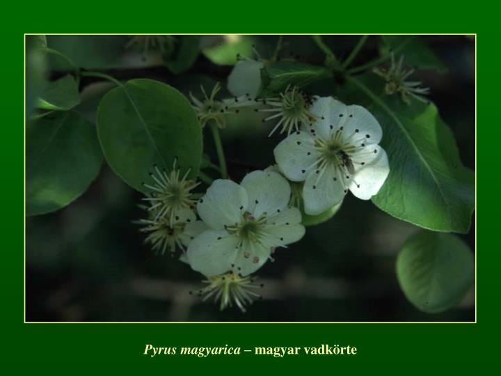 Pyrus magyarica –