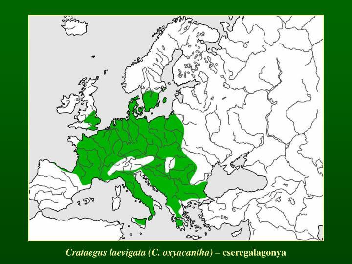 Crataegus laevigata (C. oxyacantha)