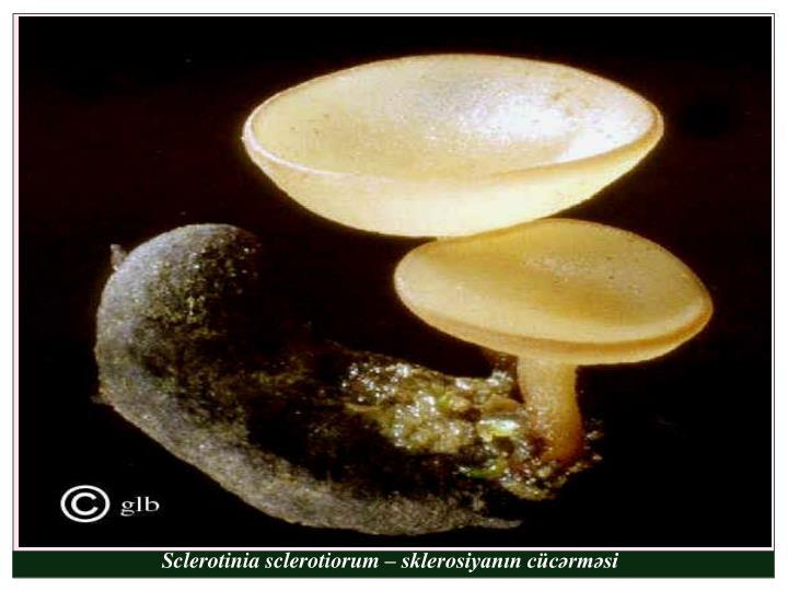 Sclerotinia