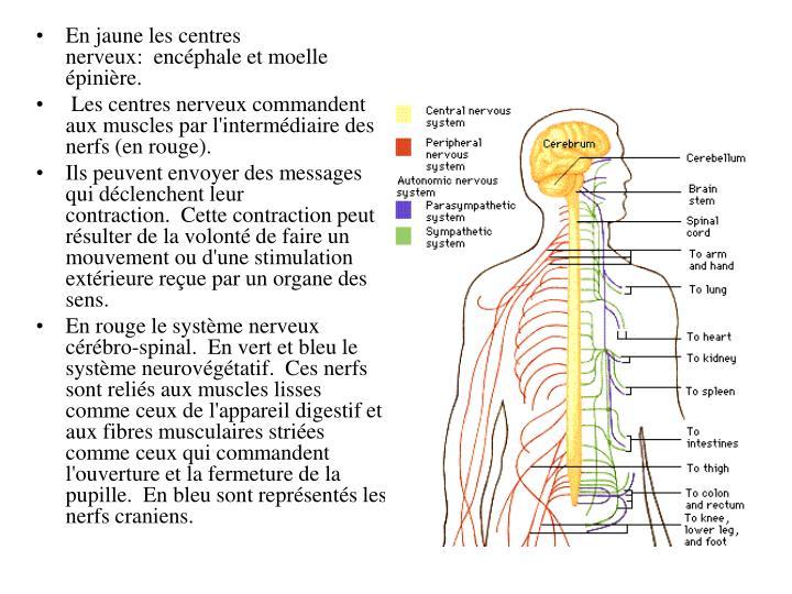 En jaune les centres nerveux: encéphale et moelle épinière.