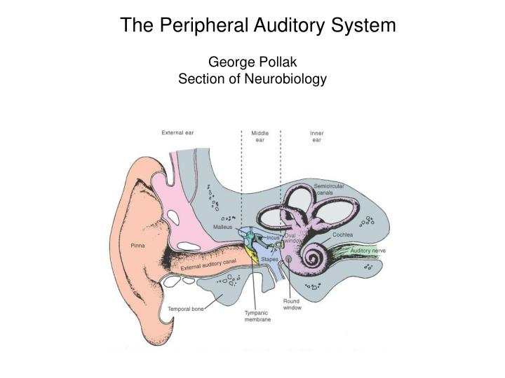 The Peripheral Auditory System