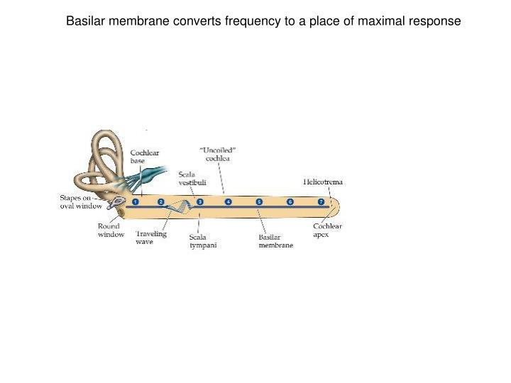 Basilar membrane converts frequency to a place of maximal response