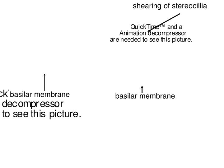 shearing of stereocillia