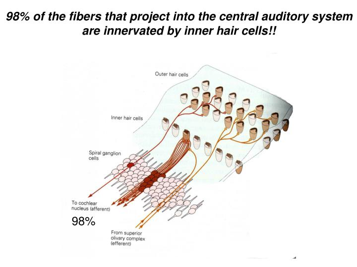 98% of the fibers that project into the central auditory system