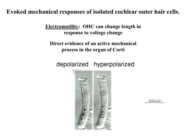 Evoked mechanical responses of isolated cochlear outer hair cells.