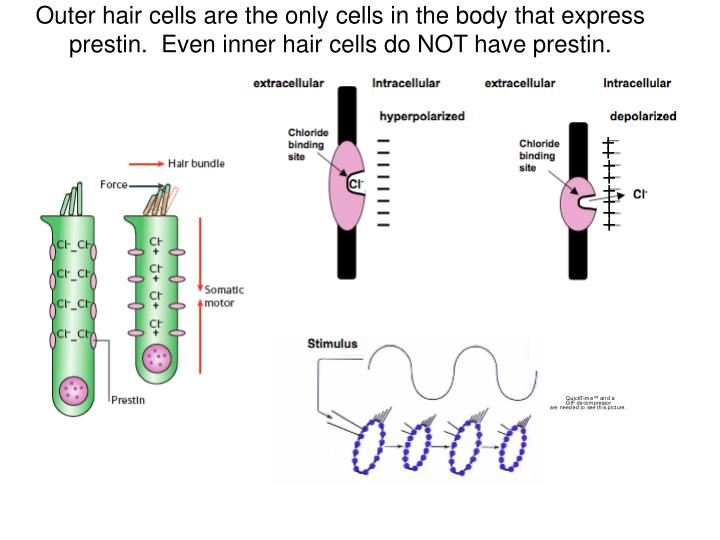 Outer hair cells are the only cells in the body that express prestin.  Even inner hair cells do NOT have prestin.