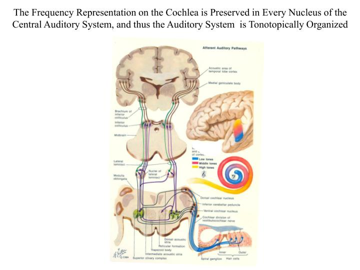 The Frequency Representation on the Cochlea is Preserved in Every Nucleus of the Central Auditory System, and thus the Auditory System  is Tonotopically Organized