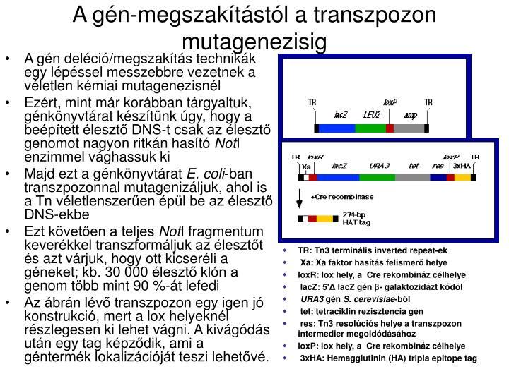 A gén-megszakítástól a transzpozon mutagenezisig