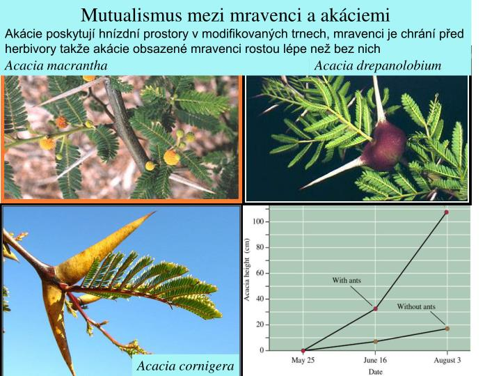 Mutualismus mezi mravenci a akáciemi