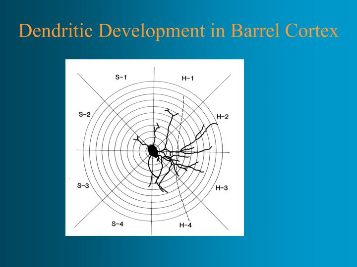 Dendritic Development in Barrel Cortex