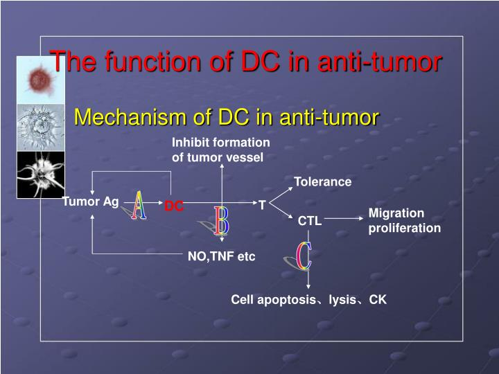 The function of dc in anti tumor