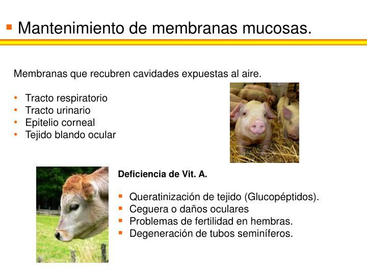 Mantenimiento de membranas mucosas.