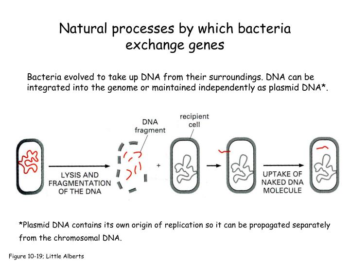 Bacteria evolved to take up DNA from their surroundings. DNA can be integrated into the genome or maintained independently as plasmid DNA*.