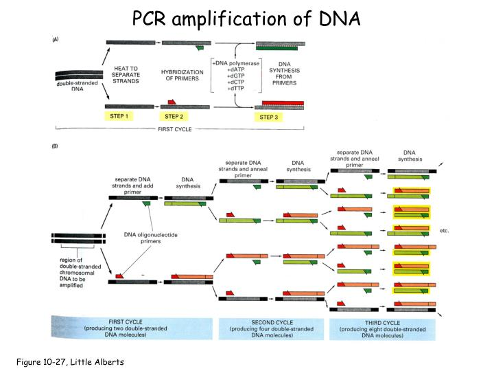 PCR amplification of DNA