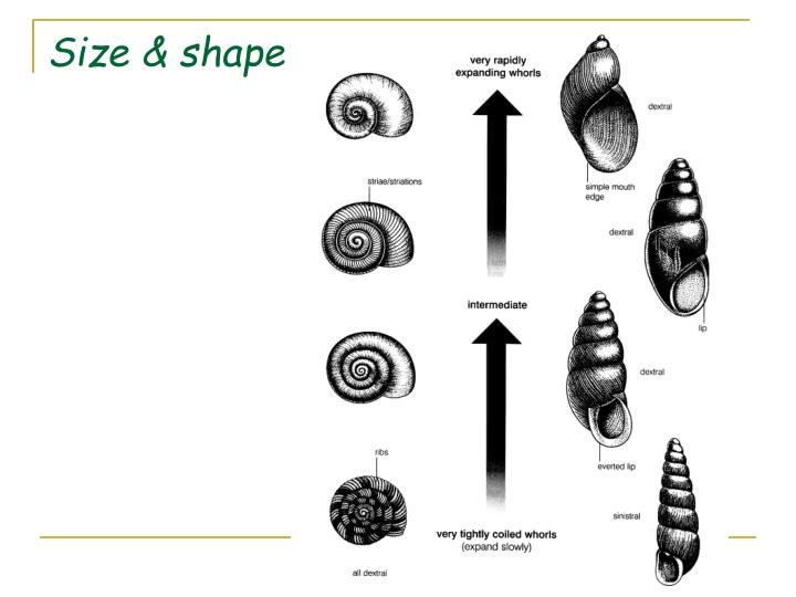 Size & shape