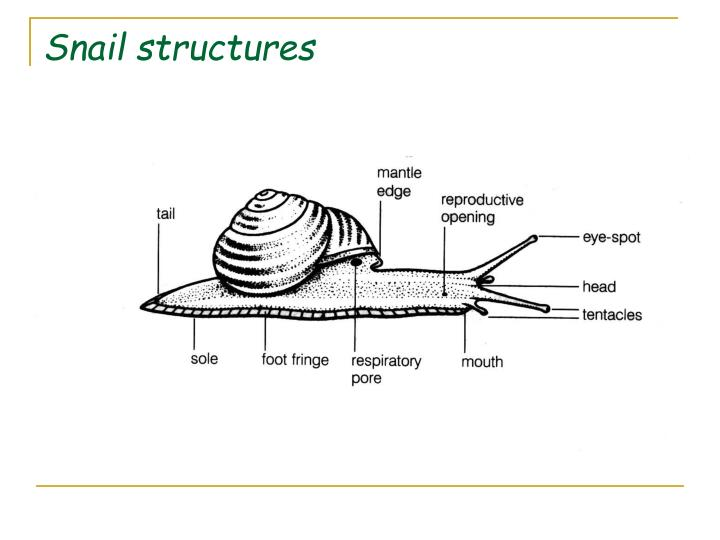 Snail structures