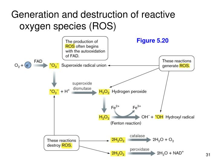 Generation and destruction of reactive oxygen species (ROS)