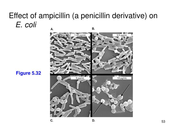 Effect of ampicillin (a penicillin derivative) on
