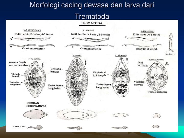 Morfologi cacing dewasa dan larva dari Trematoda