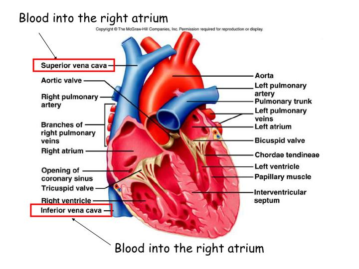 Blood into the right atrium