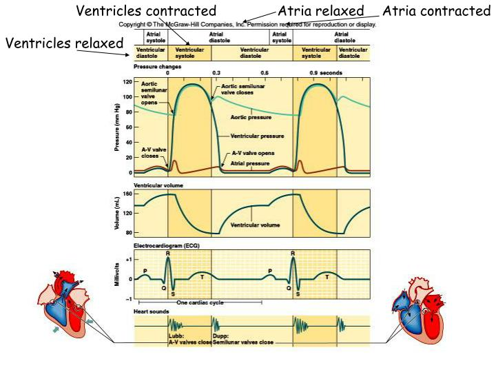 Ventricles contracted