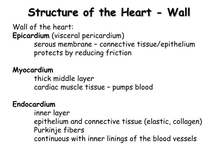Structure of the Heart - Wall