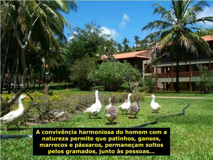 A convivncia harmoniosa do homem com a natureza permite que patinhos, gansos, marrecos e pssaros, permaneam soltos pelos gramados, junto s pessoas...
