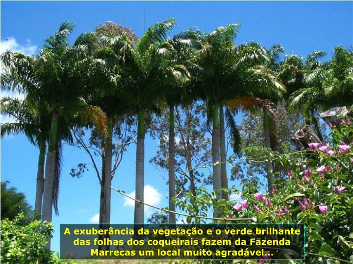 A exuberncia da vegetao e o verde brilhante das folhas dos coqueirais fazem da Fazenda Marrecas um local muito agradvel...